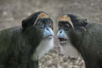 The De Brazza's monkeys