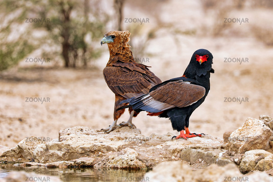 Bateleur with his young one, Kgalagadi Transfrontier National Park, South Africa