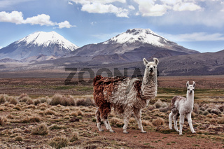A bably llama and mother on the Bolivian Altiplano