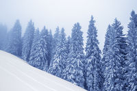 Frozen snow-covered fir forest in fog and snowy slope at gray winter day after snowfall