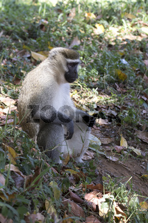 male Vervet Monkey that sits on an earthen mound under the canopy forest