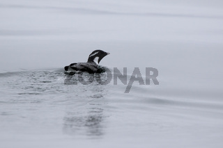 ancient murrelet who swims on the water overcast summer day