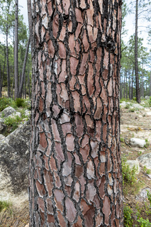 Bark of Pine Tree, Corse, France
