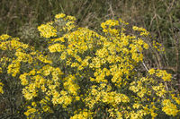 ragwort,St. James-wort, common ragwort, stinking willie, tansy ragwort or benweed