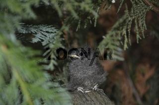 Jungvogel  -  Hausrotschwanz sitzt auf Ast in einer Hecke