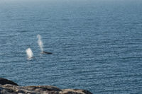 Humpback whale blow from two surfacing whales