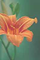 beautiful orange lily