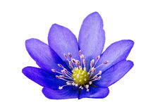 Isolated purple liverleaf flower blossom