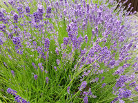 Lavendel, Lavendula, angustifolia
