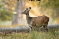Female red deer standing in an old forest in Denmark. Beautiful light in the background
