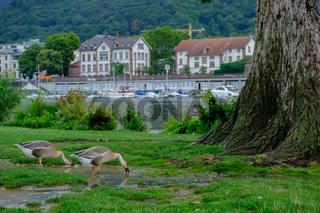 Canada geese  (Branta canadensis) drinking water in Neckarwiese park, Heidelberg, Germany