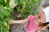 cute young girl shows off the organic tomatoes growing in her vegetable garden