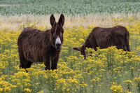 two donkey on a meadow