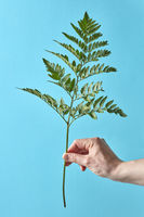 A man's hand is holding a green branch of a fern on a blue background with copy space.