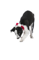 Border Collie  Dog in Holiday Christmas Collar looking guilty isolated on white