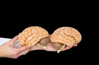 Hands hold human brains model on black background