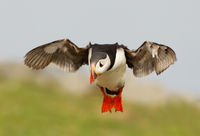 Atlantic Puffin, Fratercula arctica, Northern Europe