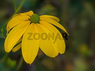 Sonnenhut 'Rudbeckia nitida'