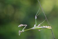 Conehead mantis  -  Empusa pennata