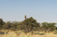 Giraffe looking over a tree in Etosha National Park.