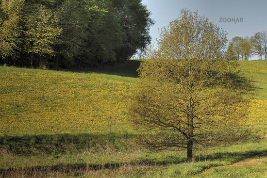 Dandelions in a meadow