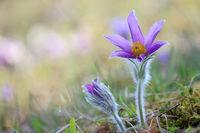 European pasqueflower