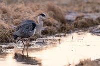 Grey heron Germany