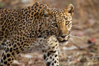 Leopard, Panthera pardus, Panna National Park, Madhya Pradesh, India.