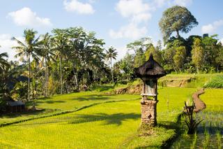 Rice Fields Near Ubud in Indonesia