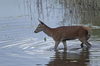 Red Deer calf in a pond