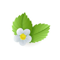 Strawberry plant green leaves and flower isolated on white background, medical herb, vector illustration.