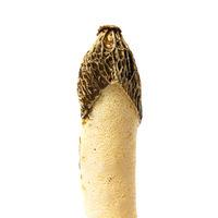 Poisonous mushroom Phallus impudicus
