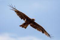 Black kite flying, Ethiopia safari wildlife
