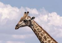 giraffe neck and head chobe national park Botswana