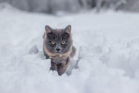 Gray cat walking in the snow. Pet walks on white snow