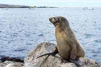 Galapagos Seelöwe (Zalophus wollebaeki) auf Lavafelsen