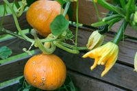 Hokaido pumpkin plant as nice garden background