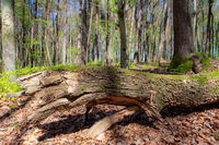 Beech forest during spring time