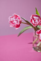 Bright pink tulips in a glass vase on a pink background