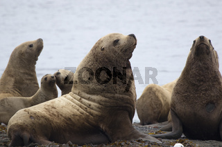 A group of Steller sea lion sitting on the shore on the island of Medny on a summer day
