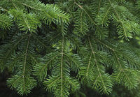 Green spruce branches as a textured background.