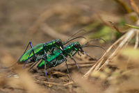 Tiger beetle mating, Kas Plateau, Satara, Maharashtra, India