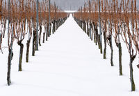 vineyard and grapevines covered in deep snow