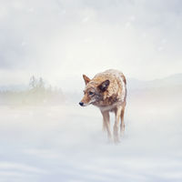 coyote walking  in the winter