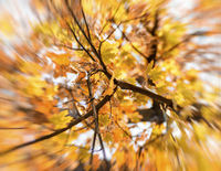 treetop maple with yellow leaves, blur