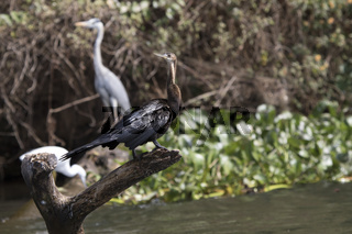 African darter that sits on the trunk of a dry tree standing among the waters of Lake Victoria