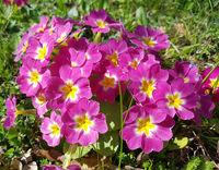 Kissenprimel, Primula, vulgaris