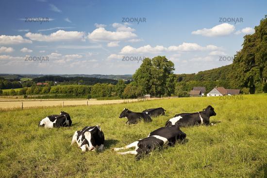 resting cows on a pasture in Elfringhauser Schweiz, Hattingen, Ruhr Area, Germany, Europe
