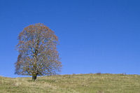 Sycamore maple on a mountain meadow