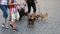 Pedestrians with dogs